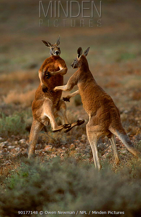 Male Red kangaroos fighting (Macropus rufus) Sturt NP New South Wales Australia  -  Owen Newman/ npl