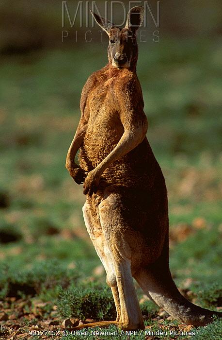 Male Red kangaroo portrait (Macropus rufus) Sturt NP New South Wales Australia  -  Owen Newman/ npl