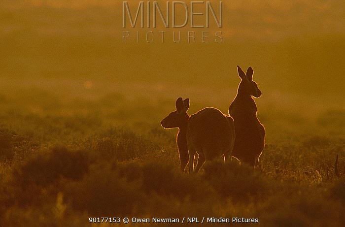 Male and female Red kangaroo at sunset (Macropus rufus) Sturt NP New South Wales Australia  -  Owen Newman/ npl