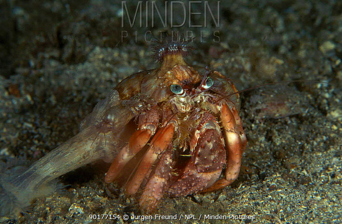 Anemone hermit crab with anemones on shell (Dardanus pedunculatus) Indo-pacific  -  Jurgen Freund/ npl