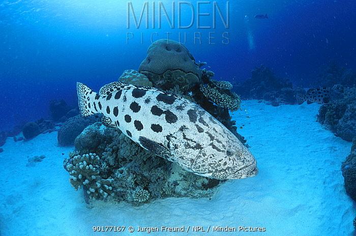 Potato grouper (cod) (Epinephelus tukula) Great Barrier Reef Australia  -  Jurgen Freund/ npl