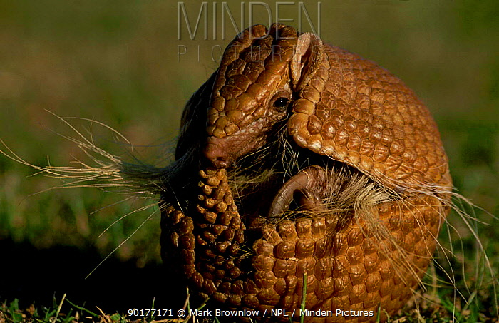 Brazilian three banded armadillo curled in protective ball (Tolypeutes tricinctus)  -  Mark Brownlow/ npl