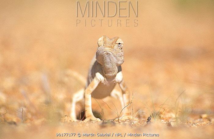 Desert chameleon (Chamaeleo namaquensis) note one eye facing forwards, the other backwards, Namib desert, Namibia  -  Martin Gabriel/ npl