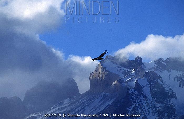 Andean condor (Vultur gryphus) in flight over Torres del Paine NP, Chile  -  Rhonda Klevansky/ npl