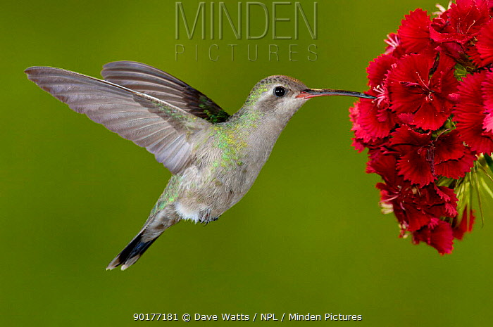 Broad-billed Hummingbird (Cyanthus latirostris) female feeding on garden flowers, USA  -  Dave Watts/ npl
