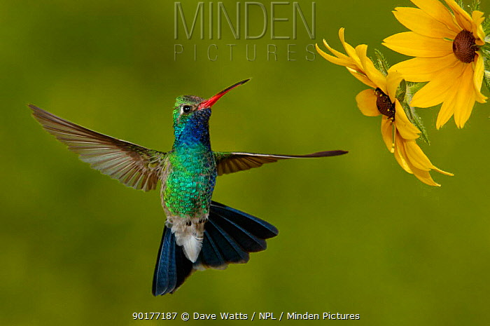 Broad-billed Hummingbird (Cyanthus latirostris) male feeding on garden flowers, USA  -  Dave Watts/ npl