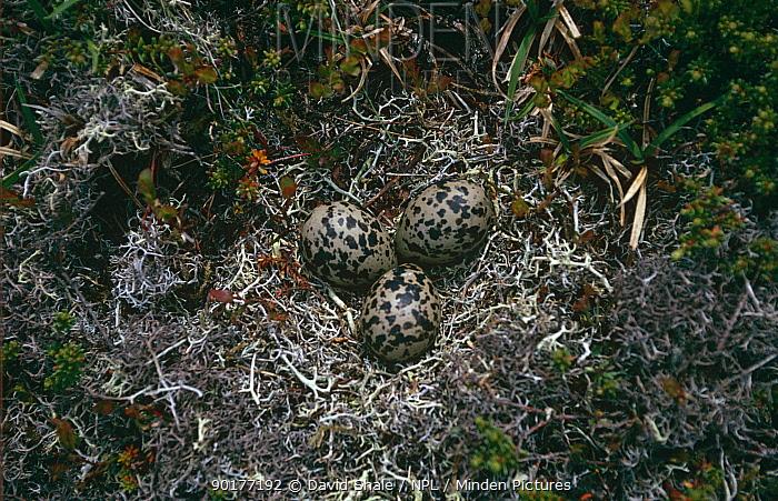 Dotterel (Eudromias morinellus) nest with three eggs, Highlands, Scotland, UK  -  David Shale/ npl