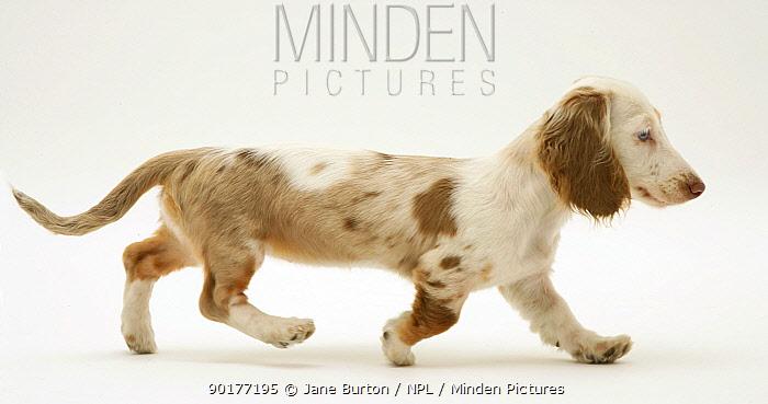 Chocolate dapple Miniature Dachshund pup trotting  -  Jane Burton/ npl