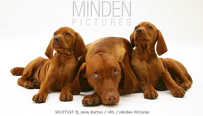 Hungarian Vizsla bitch lying down with two pups  -  Jane Burton/ npl