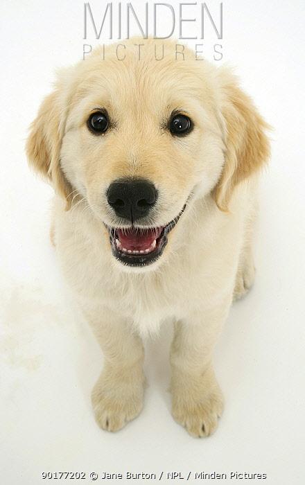 Golden Retriever pup sitting and looking up  -  Jane Burton/ npl