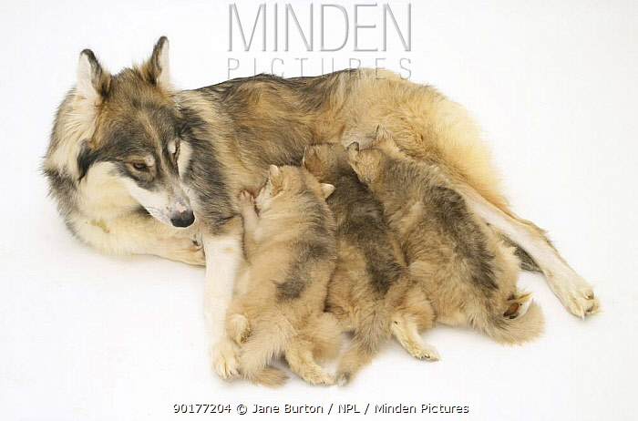 Utonagan bitch suckling three puppies The Utonagan is a breed being developed using the 'Breeding Back' Procedure in an attempt to recreate the 'wolf-look' without cross breeding with wolves  -  Jane Burton/ npl