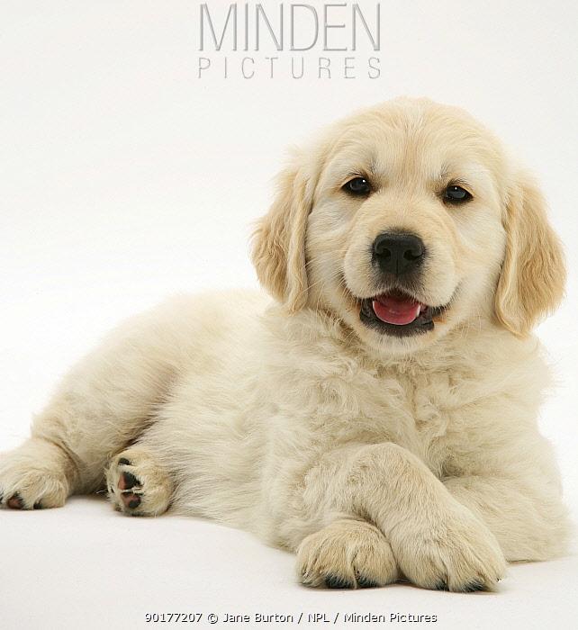 Golden Retriever pup lying down, head up, paws crossed  -  Jane Burton/ npl