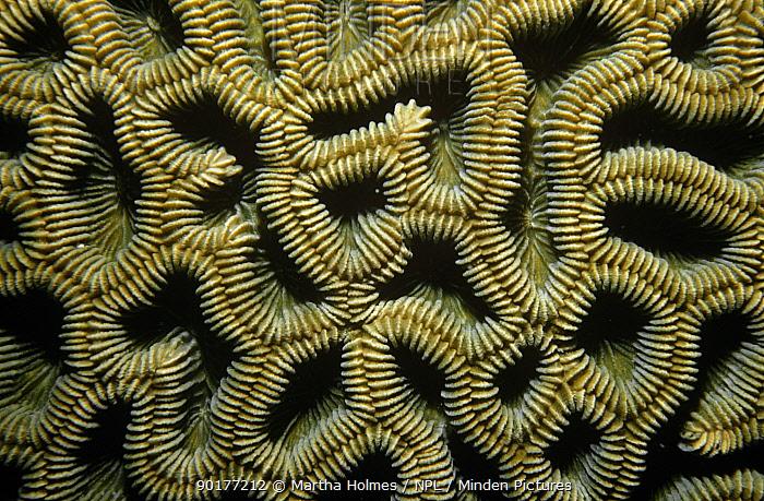 Close up of patterns in Brain coral (Colpophyllia breviserialis) British Virgin Island, Caribbean  -  Martha Holmes/ npl
