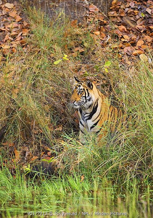 Tiger (Panthera tigris) camouflaged amongst grass, Bandhavgarh National Park, India 2007  -  Sharon Heald/ npl