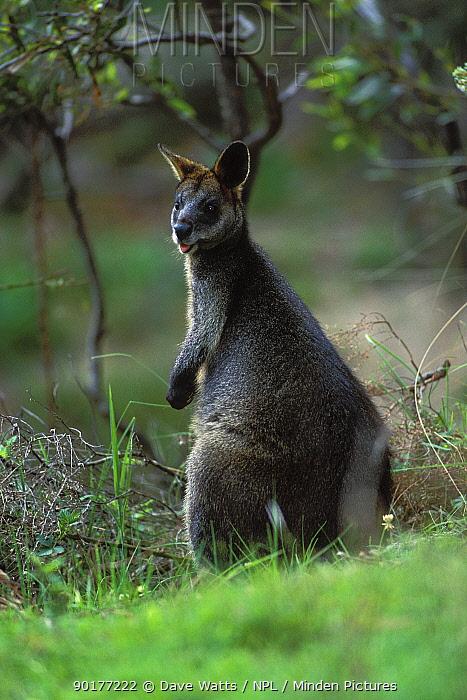 Swamp Wallaby (Wallabia bicolor) Queensland, Australia  -  Dave Watts/ npl