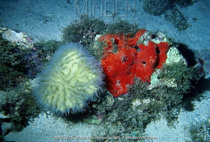 Brain coral (Colpophyllia natans) feeding at night polyps exted Dominica Caribbean  -  Martha Holmes/ npl