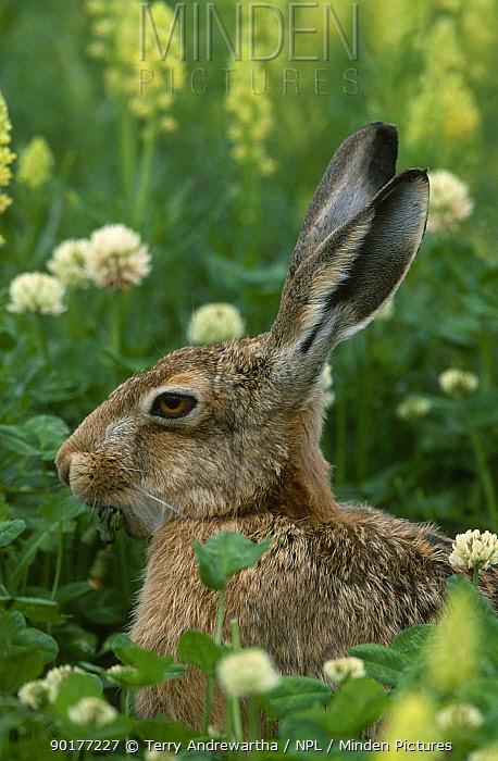 European hare (Lepus europaeus) Breckland Norfolk UK  -  Terry Andrewartha/ npl