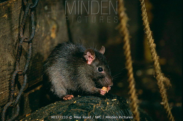 Black rat feeding (Rattus rattus) captive, UK  -  Mike Read/ npl