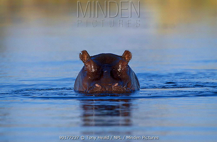 Hippopotamus submerged in water (Hippopotamus amphibius) Moremi Wildlife Reserve Bostwana Africa  -  Tony Heald/ npl