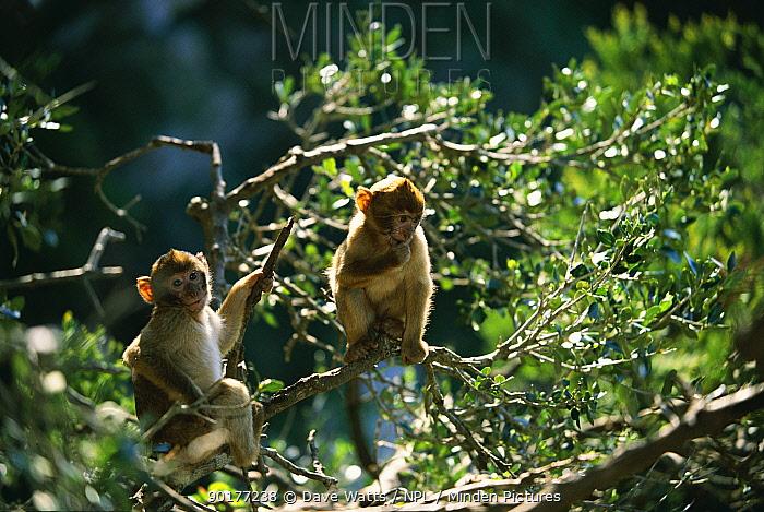 Barbary ape young (Macaca sylvanus) Gibraltar  -  Dave Watts/ npl