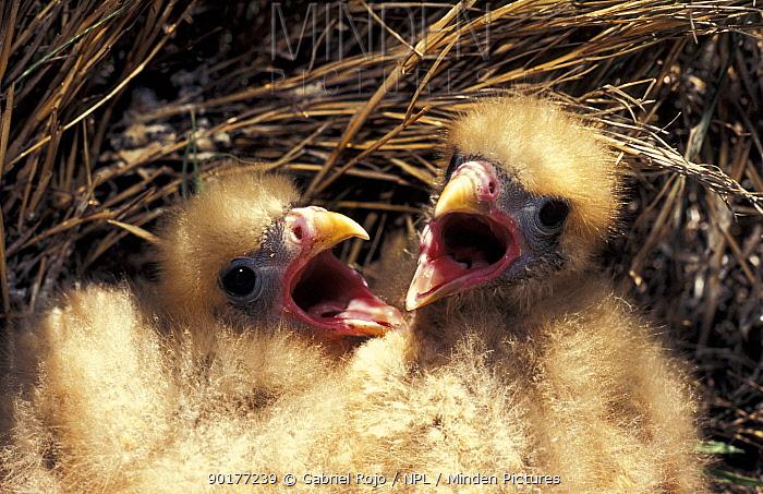 Two Chimango chicks in nest (Milvago chimango) Macachin, Argentina  -  Gabriel Rojo/ npl