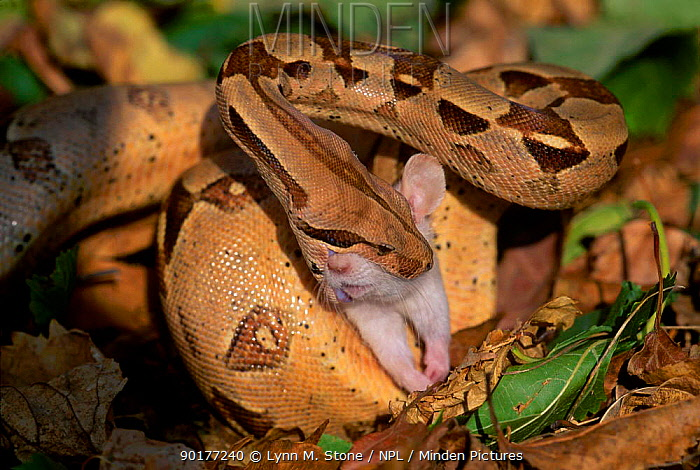 Columbian Red-tailed boa constrictor eating rat captive (Constrictor constrictor)  -  Lynn M. Stone/ npl