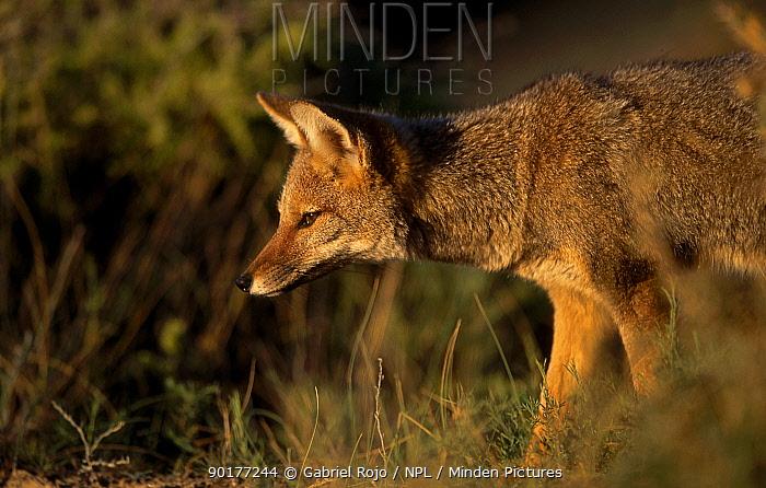 Argentine grey fox (Pseudolopex griseus) Valdez Patagonia Argentina chubut  -  Gabriel Rojo/ npl