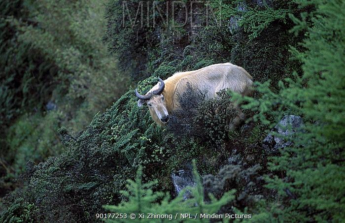 Takin male on hillside (Budorcas taxicolor) Mt Qinling, Shaanxi, China  -  Xi Zhinong/ npl