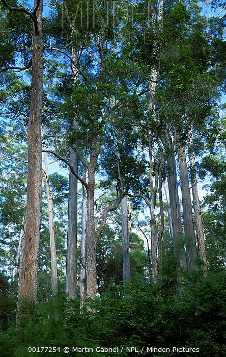 Eucalyptus forest (Eucalyptus diversicolor) Warren NP, Western Australia Karri trees january  -  Martin Gabriel/ npl