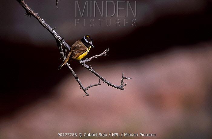 Great kiskadee (Pitangus sulphuratus) Cordoba Argentina Cerro Colorado  -  Gabriel Rojo/ npl