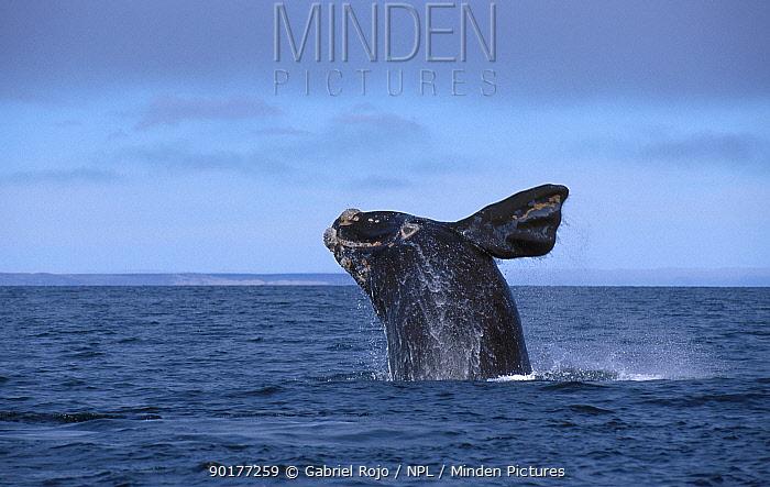 Southern right whale calf breaching (Balaena glacialis australis) Patagonia Argentina  -  Gabriel Rojo/ npl