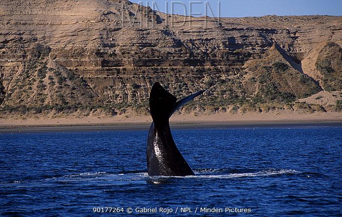 Southern right whale diving (Balaena glacialis australis) Argentina Patagonia Argentina  -  Gabriel Rojo/ npl
