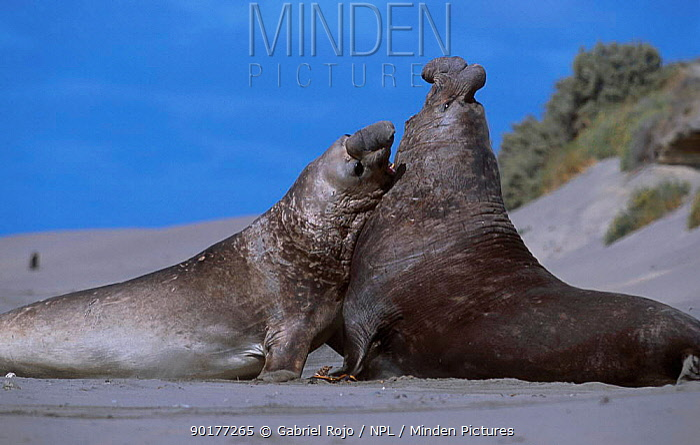 Southern elephant seal males fighting (Mirounga leonina) Valdez, Patagonia, Argentina  -  Gabriel Rojo/ npl