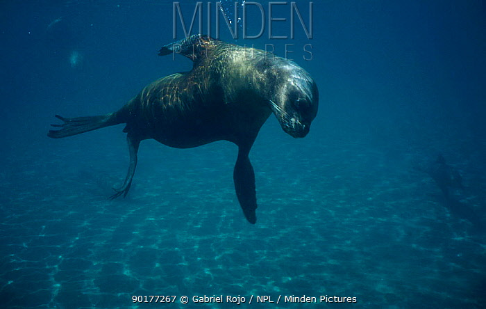 South American, Patagonian sealion underwater (Otaria flavescens) Valdez, Patagonia, Argentina Chubut  -  Gabriel Rojo/ npl