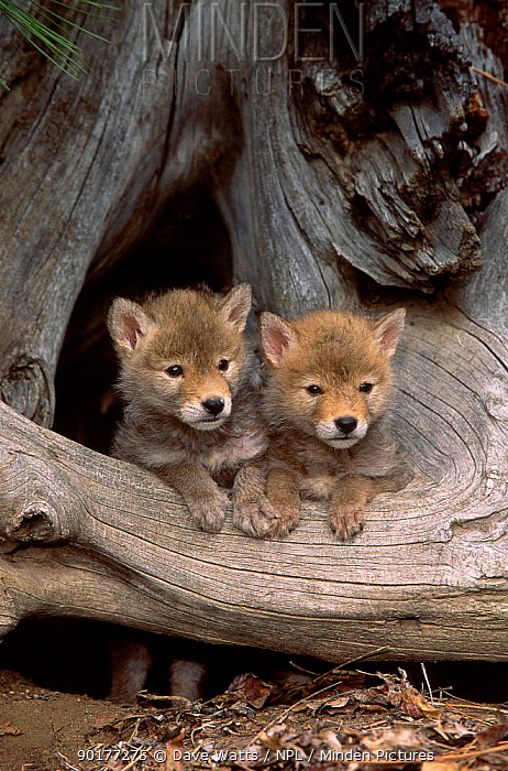 Two Coyote cubs (Canis latrans) N America  -  Dave Watts/ npl