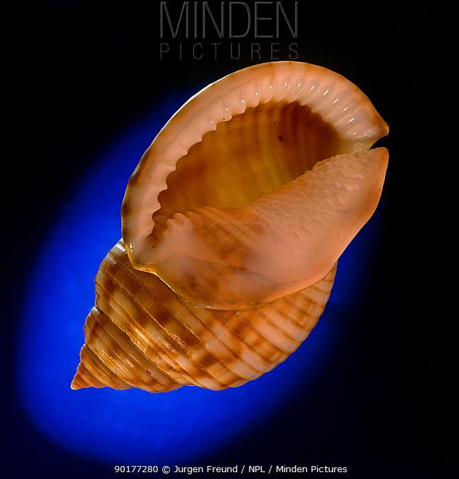 Bonnet (Helmet) snail shell (Phalium granulatum) Atlantic Ocean  -  Jurgen Freund/ npl
