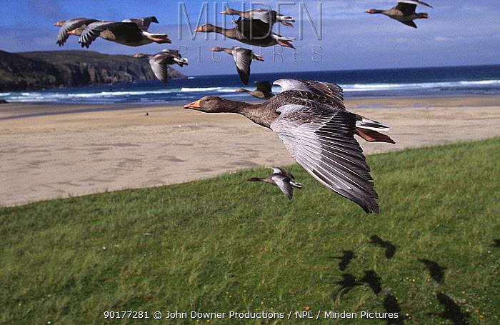 Flock of Greylag geese in flight (Anser anser) imprinted flock, part of programme filming for BBC series  -  John Downer/ npl