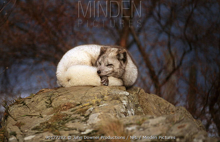 Arctic fox with fur turning white for winter (Vulpes lagopus) captive  -  John Downer/ npl