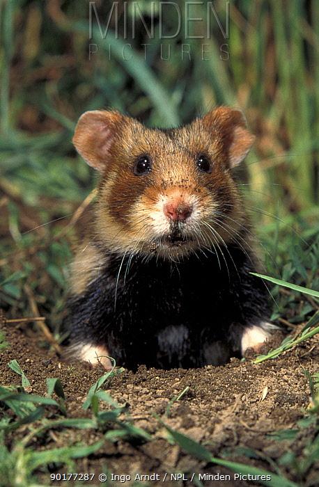 Common hamster (Cricetus cricetus) Germany  -  Ingo Arndt/ npl