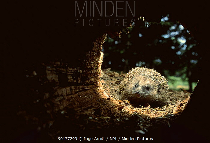 Hedgehog (Erinaceus europaeus) investigating hollow trunk, Germany  -  Ingo Arndt/ npl