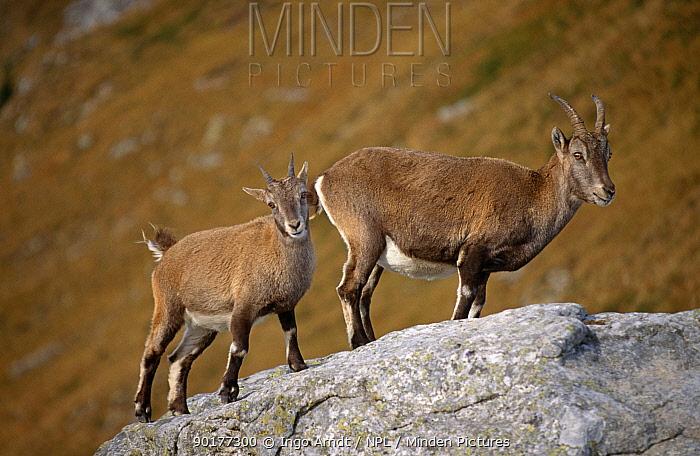 Alpine ibex female with young (Capra ibex ibex) Gran Paradiso NP, Italy  -  Ingo Arndt/ npl