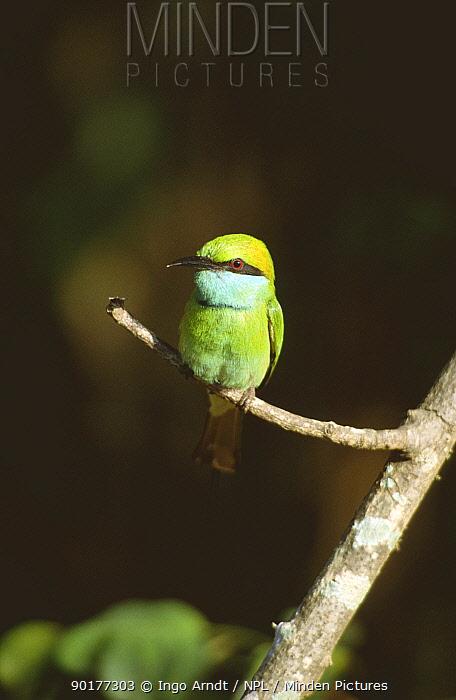 Little green bee eater (Merops orientalis) Sri Lanka  -  Ingo Arndt/ npl