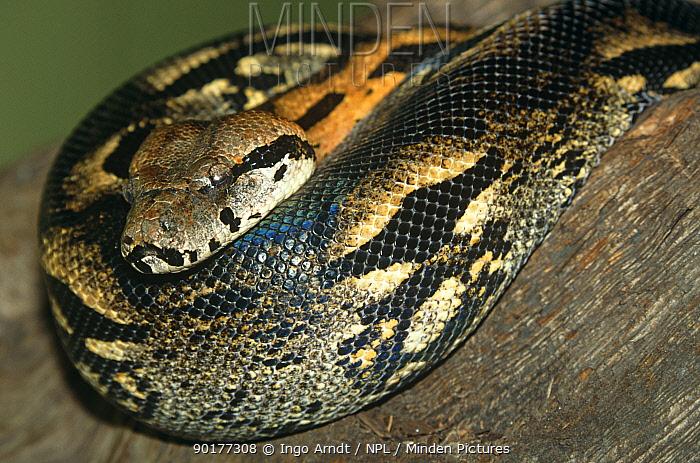 Madagascar boa constrictor (Acrantophis madagascariensis) captive  -  Ingo Arndt/ npl