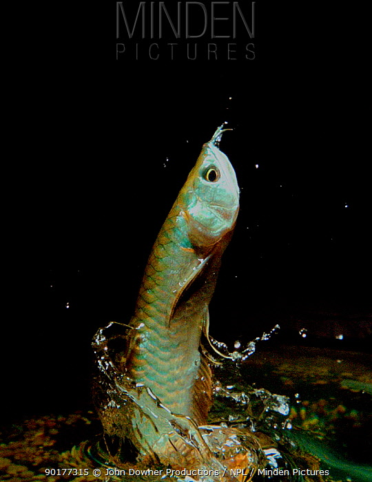 The Arowana makes huge leaps from the water to snatch insects from vegetation above (Resolution restriction, image digitised from film, 'Weird Nature' tv series)  -  Tim Macmillan/ JDP/ npl