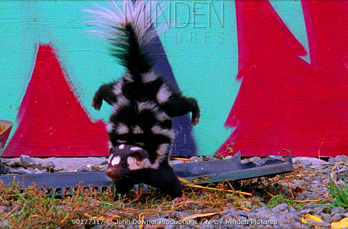 Spotted skunk does handstand as initial warning then sprays out stench if warning not heeded (Resolution restriction, image digitised from film, 'Weird Nature' tv series)  -  JDP/ npl