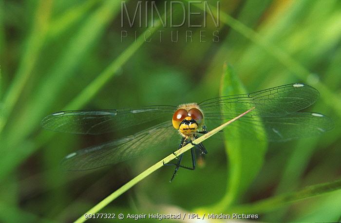 Brown aeshna dragonfly (Aeshna grandis) Norway  -  Asgeir Helgestad/ npl