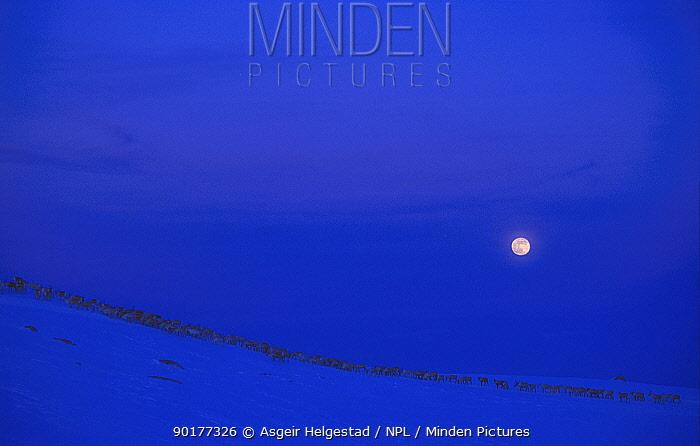 Reindeer migrating across winter landscape with full moon (Rangifer tarandus) Reinsjofell, Norway  -  Asgeir Helgestad/ npl