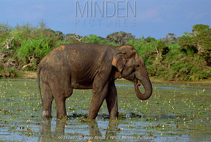 Indian elephant feeding in swamp (Elephas maximus) Sri Lank  -  Ingo Arndt/ npl