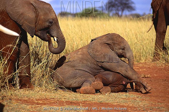 African elephant calves playing (Loxodonta africana) Lake Jipe, Kenya  -  Peter Blackwell/ npl