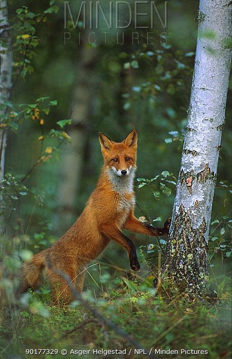 Red fox standing against tree to get view (Vulpes vulpes) Norway  -  Asgeir Helgestad/ npl